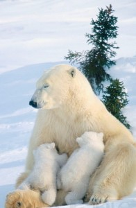 nursing polar bears